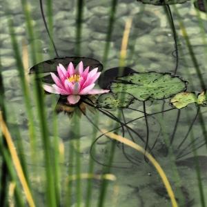 Seerose (Foto: Handler)